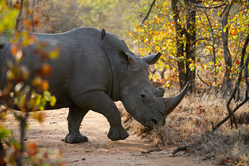 Poster de jardin Rhino rhino walking alone in the bush of kruger national park
