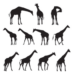 Set of black silhouettes of giraffes.