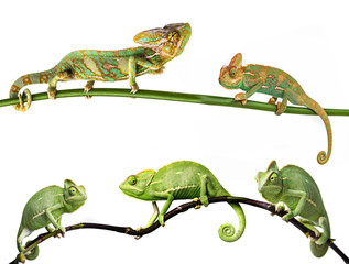 Fototapete - chameleon - Chamaeleo calyptratus on a branch, females and males