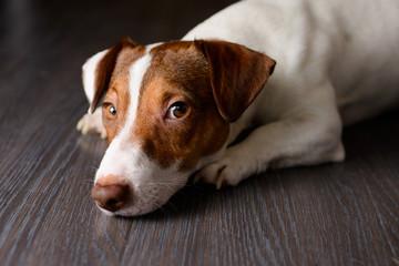 Jack Russell dog sleeping on the floor , selective focus
