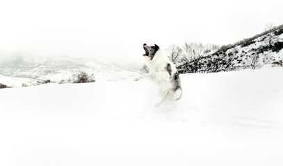 Dog running and jumping in the snow
