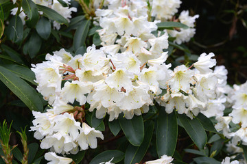 white Rhododendron bush bloom in springtime.