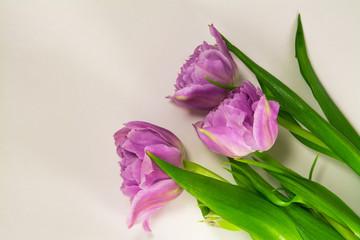Three purple tulips isolated on white background.