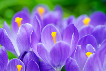Group of blue crocuses