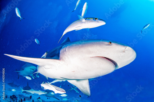 bull shark in the blue ocean background