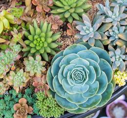 arrangement of succulents; cactus succulents in a planter