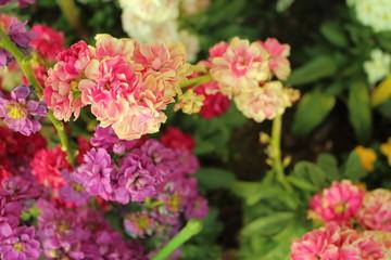 ストックの花