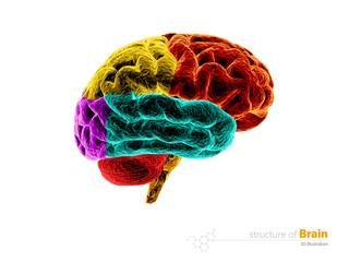 Human brain, anatomy structure. Human brain anatomy 3d illustration. isolated white