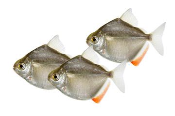 Swarm of Silver Dollar genus metynnis schooling aquarium fish