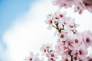 Spring bloom almond flowers