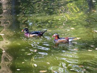 Mandarin duck goose waterfowl animal lake photo