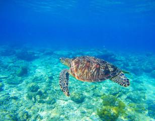 Wild sea turtle in water. Snorkeling in tropic lagoon. Oceanic animal in blue tropical sea.