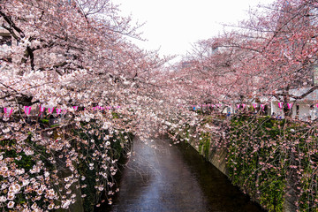 Beautiful Sakura are blooming along the both side of Nakameguro canal in Tokyo, Japan