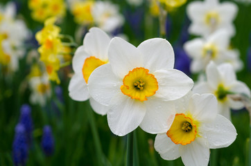 White and yellow daffodils in a park