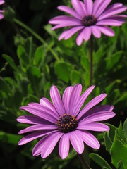purple pink flower daisy
