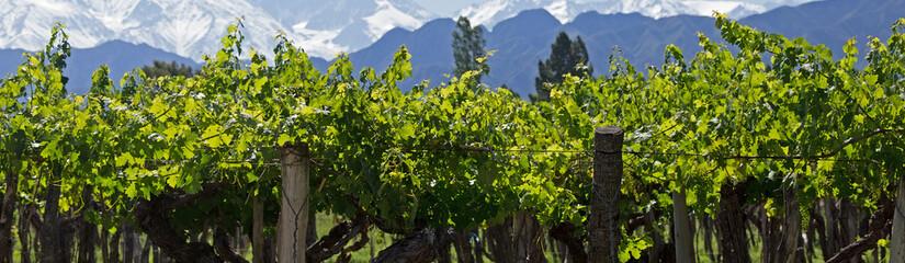 Mendoza Vines, Lujan de Cuyo, Argentina