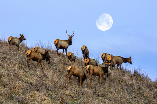 Elk herd, Appalachian Mountains, Kentucky