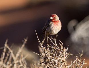 House finch in Monument Valley, Arizona