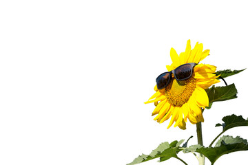 Sunflower isolated on white background ,with clipping path