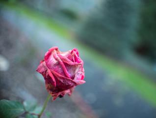 Red rose in California garden