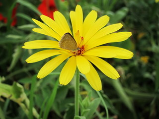 Butterfly in Yellow Calendula Flower