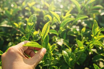 Farmer hand pick green tea sprout