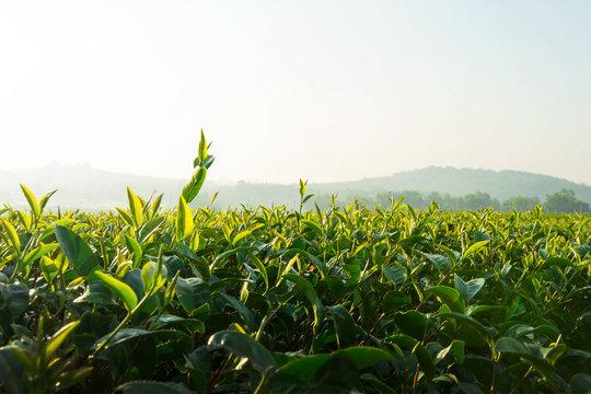 Green tea plantation farm
