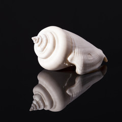 Sea shell of marine snails isolated on black  background