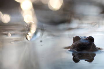 frog head back in water