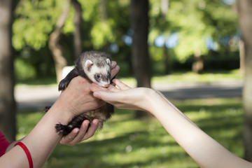 Cute Ferret in womans hands at the park, Mustela putorius furo