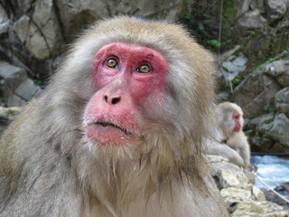 Wise Old Monkey - Jigokudani Monkey Park (Snow Monkeys), Japan