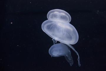 Glowing jellyfish close-up in the aquarium