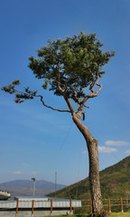 Pine Tree With a Beautiful Mountain