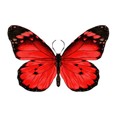 butterfly with open wings top view, the symmetrical drawing, graphics, sketch, vector, color image, red wings with black pattern on the edges