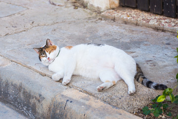 Portrait of a fat cat with white furs. Lying outdoor