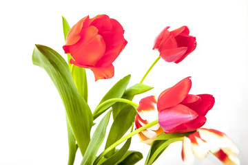 Red and yellow tulip on a white background
