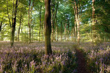 Beautiful bluebell covered forest with fresh early morning sunrise and a path leading into the distance on the right