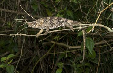 Caméléon à corne courte, Chamaeleo brevicornis, Madagascar