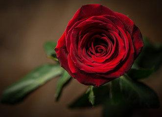 Red rose. Macro shot with shallow depth of field.