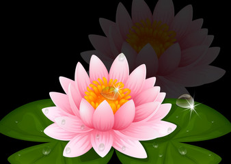 Pink water lily on black background