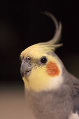 closeup of cockatiel bird, Yellow head with orange spots and gray body