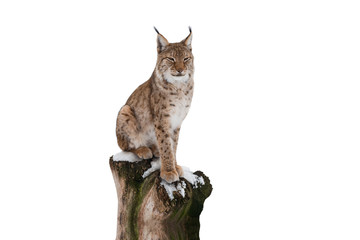 Photo sur Aluminium Lynx lynx