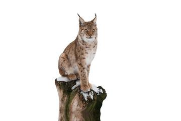 Acrylic Prints Lynx lynx