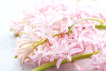 Spring Easter background Close up pink Hyacinths