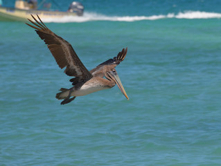 Beautiful Wing Extension on a Pelican in Flight