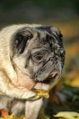 Pug dog in the autumn park