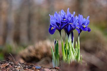 Aluminium Prints Iris Iris reticulata