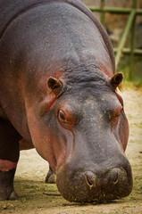 Hippo (Hippopotamus amphibius). close up
