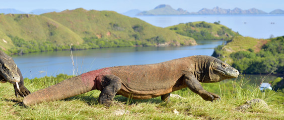 Komodo dragon ( Varanus komodoensis ) in natural habitat.