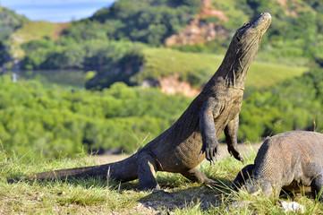 Komodo dragon ( Varanus komodoensis ) in natural habitat.